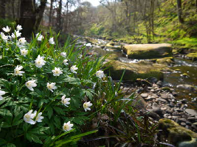 Wood Anemones, Hardcastle Crags, Hebden Bridge